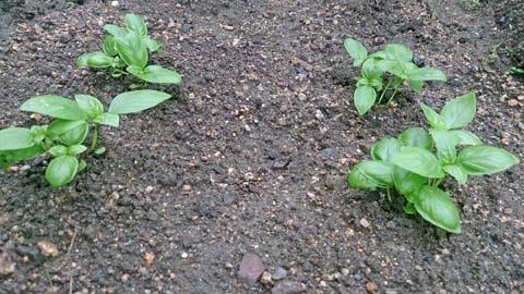 ポッドのバジルを家庭菜園に露地植えしました