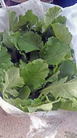 家庭菜園:大根の本葉が成長してきたので間引きました間引き菜はおひたしで頂きます