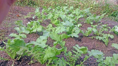 家庭菜園:大根を間引いて1本立にしました