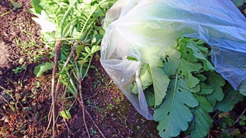 家庭菜園:間引いた大根はだいぶ太くなっていました