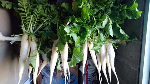 家庭菜園:収穫した大根を漬物にするため干しています