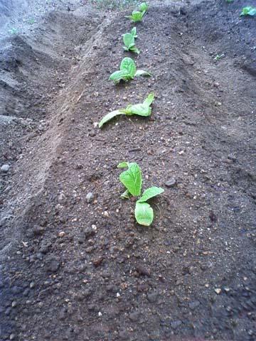 ガーデニング:実家の家庭菜園に植えた白菜の苗