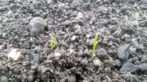 ほうれん草が無事発芽しました