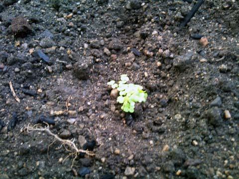 ガーデニング:実家の家庭菜園のカブも発芽