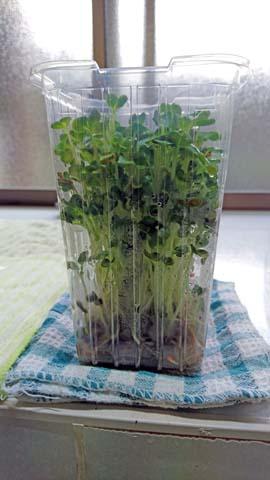 家庭菜園:余った大根の種をカイワレ大根にしてみる