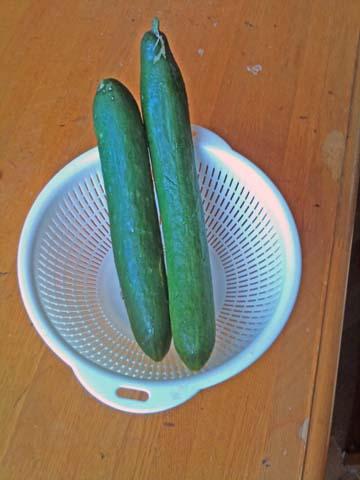 ガーデニング:実家の家庭菜園で今年採れたキュウリ(撮影はソニー・エリクソンのスマートフォンXperia)