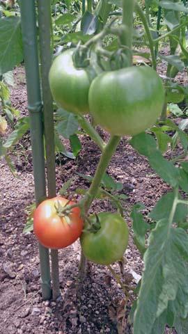 家庭菜園のトマトが色づき始める