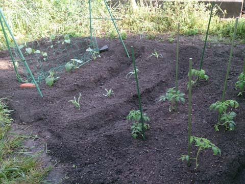ガーデニング:家庭菜園に野菜の苗を植えました。